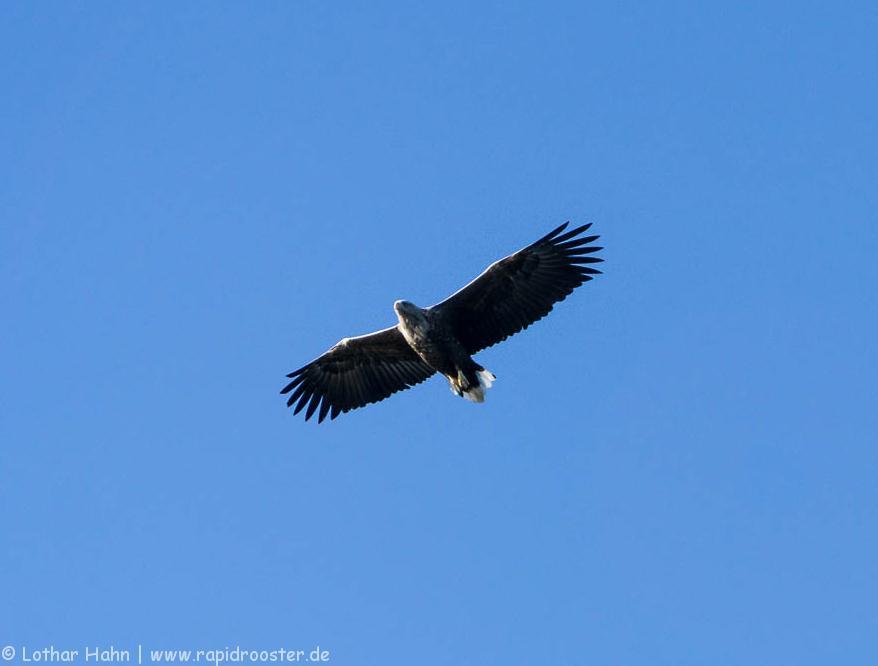 Adler über dem Raftsund